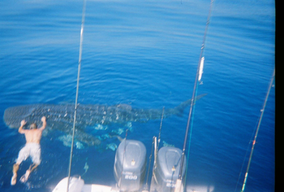 Shark - Drag-On Fishing Charters Sarasota Florida